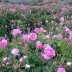 نزدیک به ۲ هزار تن گلمحمدی در اسکو برداشت شد
