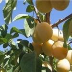 ۲۵ درصد از زردآلوی کشور در آذربایجانشرقی تولید میشود