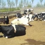 یک آمار نگران کننده درباره محصولات لبنی آذربایجان شرقی
