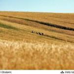 بدهی دولت به کشاورزان تا یک ماه آینده تسویه میشود