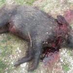 کشتار گرازها در زنجان
