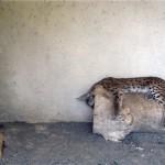 وضعیت وخیم حیوانات در باغ وحش تبریز / از سیاه گوش در حال احتضار تا شرایط اسفبار نگهداری