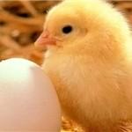 صادرات ۱٫۹ میلیون جوجه یک روزه به خارج از کشور/ صارات ۱٫۵ میلیون کیلوگرم تخممرغ