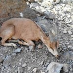 سایه مرگ بر سر حیات وحش خرمنهسر/طاعون ۴۱ رأس کَل و بز را تلف کرد
