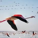 مرگ مشکوک ۱۵۰۰ پرنده در اطراف دریاچه ارومیه