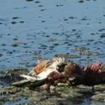 مرگ دو هزار پرنده در حاشیه دریاچه اورمیه