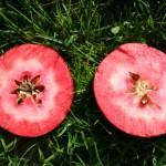 سیب توسرخ نمین در گمنامی