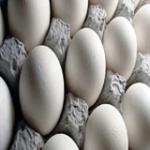 تولید ۱۲۳۰ تن تخم مرغ در شهرستان اهر