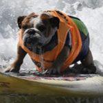 تصاویر/ موجسواری سگها با کایت