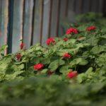 کاشت ۲۰ هزار گلدان شمعدانی در پارک بزرگ ائلگلی تبریز