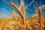 نیازی به واردات گندم نداریم
