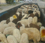 کشف ۱۳کیلوگرم تریاک در زیر بار گوسفند در بناب+ عکس